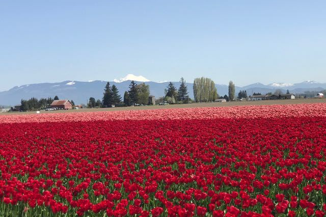 TulipFieldsMountains