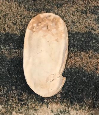 Rex' plaster footprint